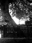 Η μουριά στην οποία σταμάτησε το κάρο με το λείψανο του Οσίου Αντωνίου του Νέου